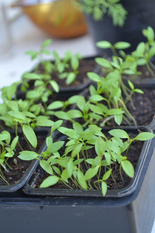 semis de persil