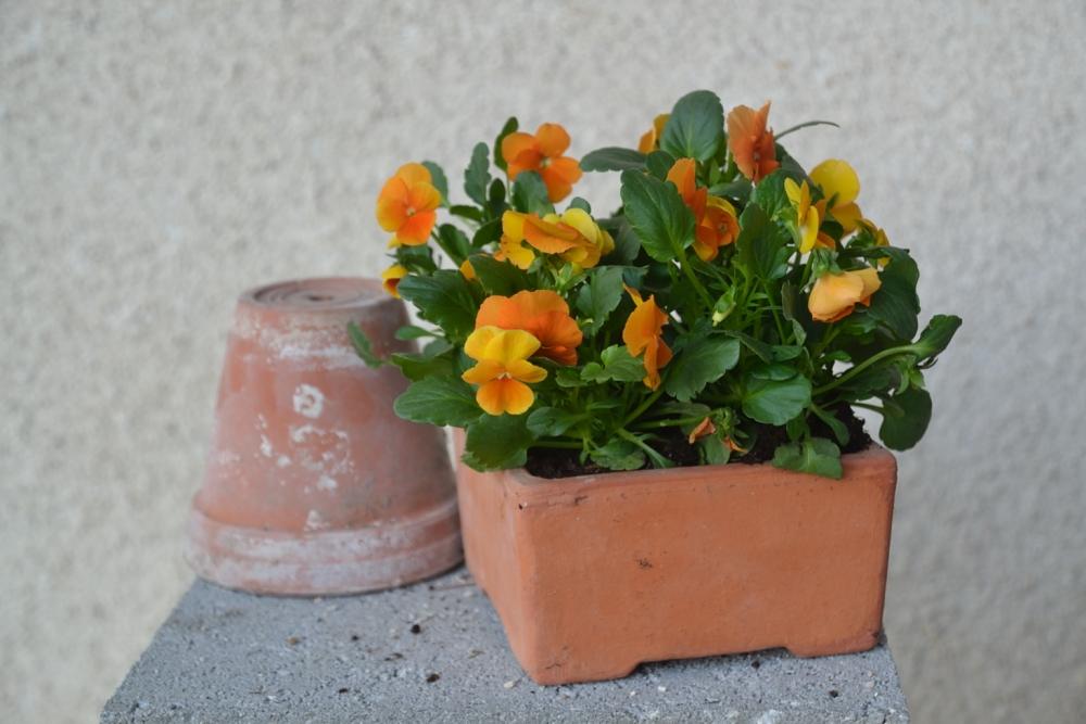 pensées en pot en terre cuite carré