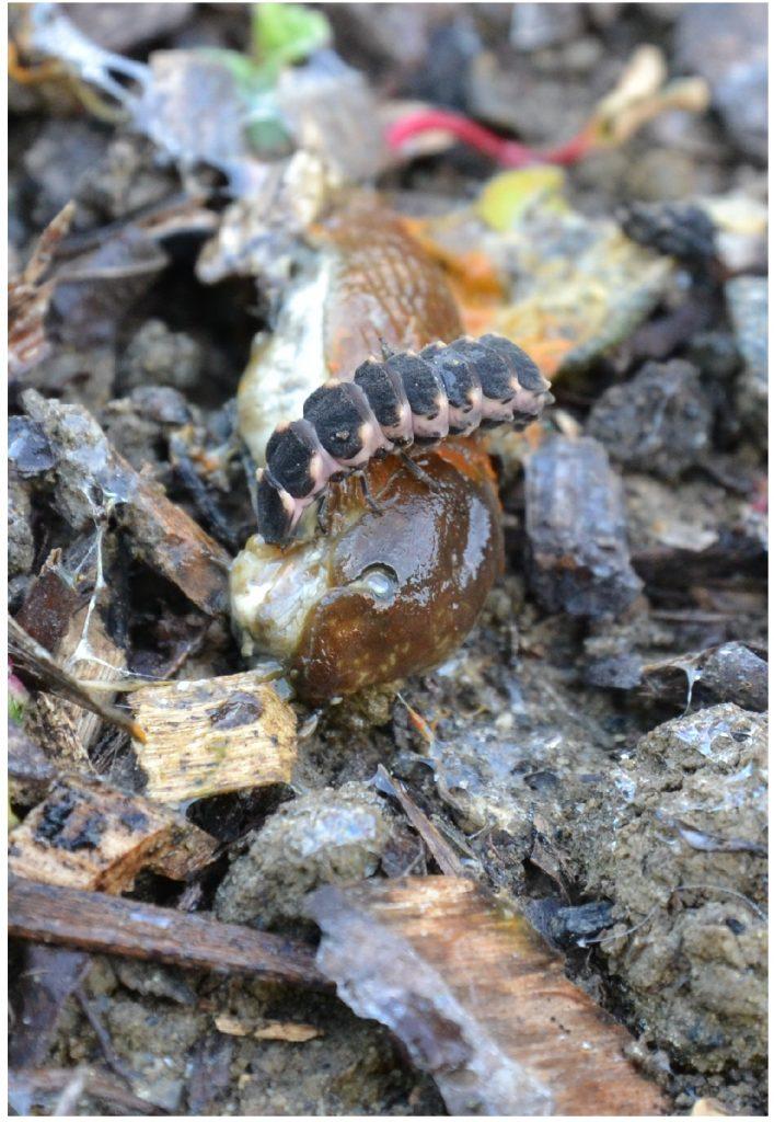 larve de vers luisant s'attaquant à une limace - permaculture et insectes auxiliaires du jardin