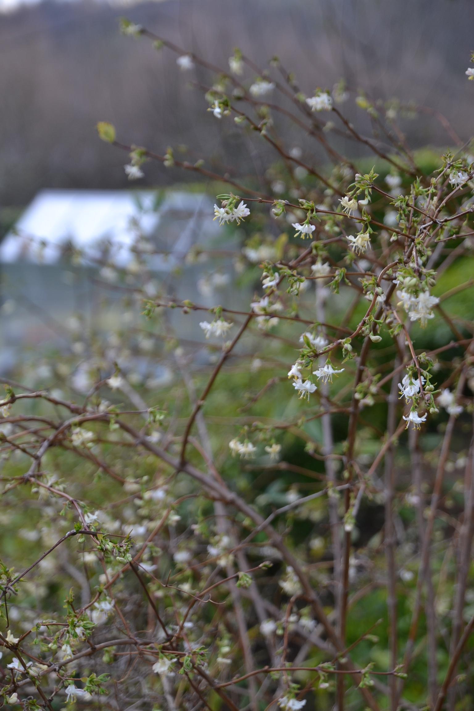 Lonicera Fragrantissima chévrefeuille d'hiver