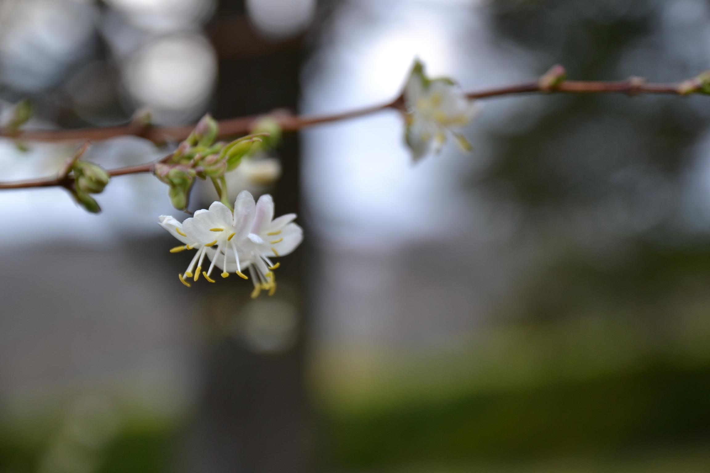 fleur de Lonicera Frangrantissima chévrefeuille d'hiver