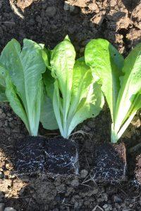 Laitues en mini-mottes, prête à être plantées