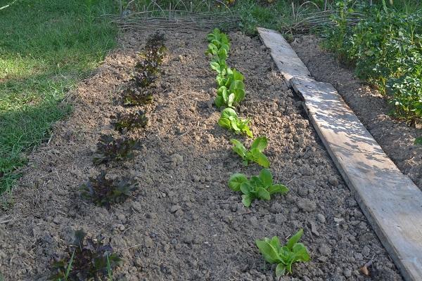 Laitues plantée en rang