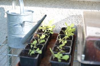 jeunes plants de laitue semis