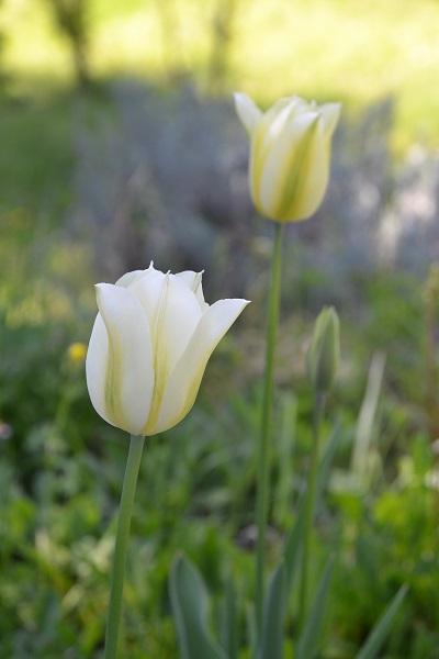 Unmatinaujardin-tulipe viridiflora