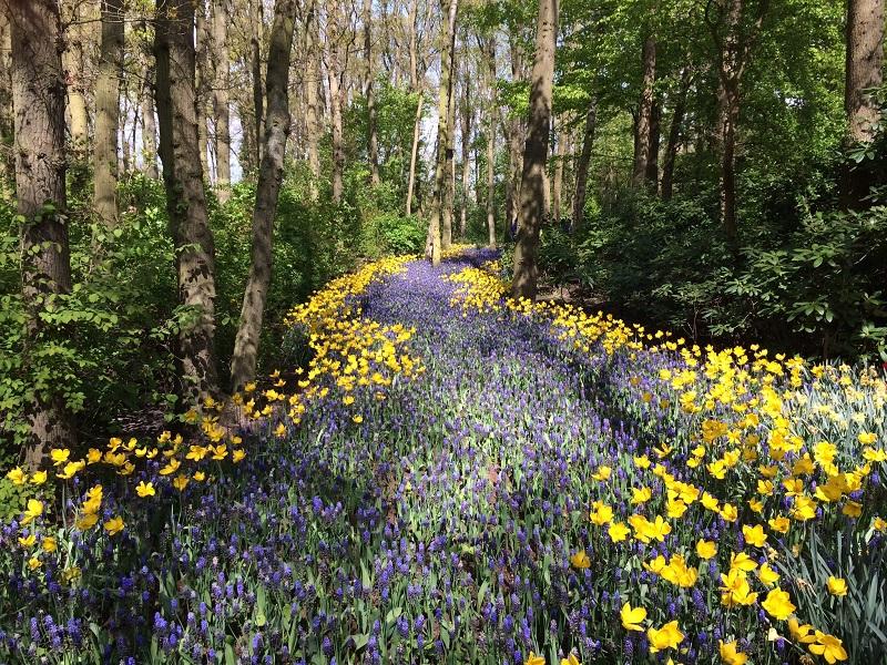 tapis de muscari et narcisses en sous bois au printemps