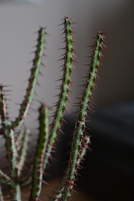 euphorbia aeroguinosa