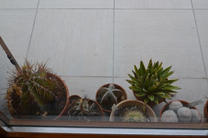 les cactus en hivernage sur le balcon