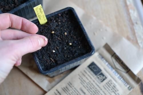 Déposer les graines de tomates sur le terreau humide