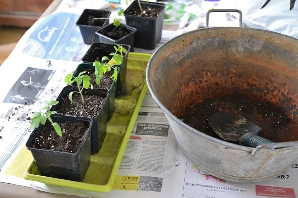 semis de tomates du printemps