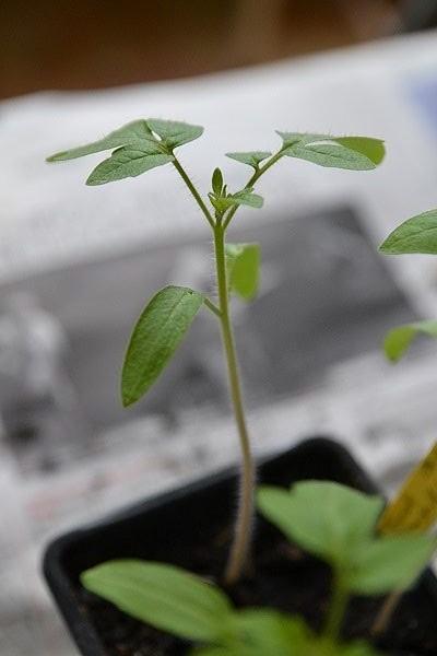 semis de tomates du printemps prêt à être repiqué