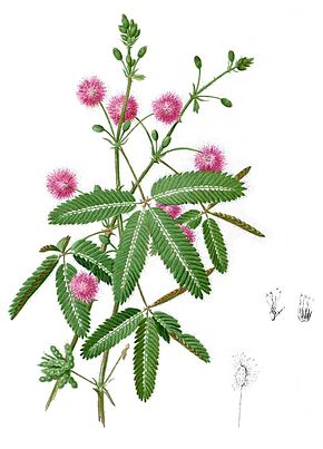 Wikipédia : mimosa pudica