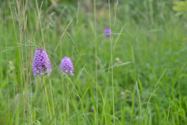 les orchidées sauvages s'invitent au jardin