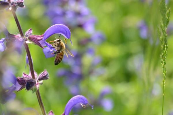 limiter la tonte favorise la présence des abeilles au jardin