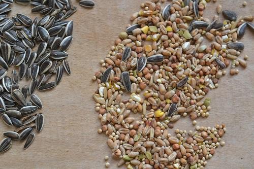 graines pour oiseaux des jardins : tournesol vs mélange de graine