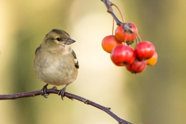 les pommiers d'ornement apporte de la nourriture aux oiseaux en hiver