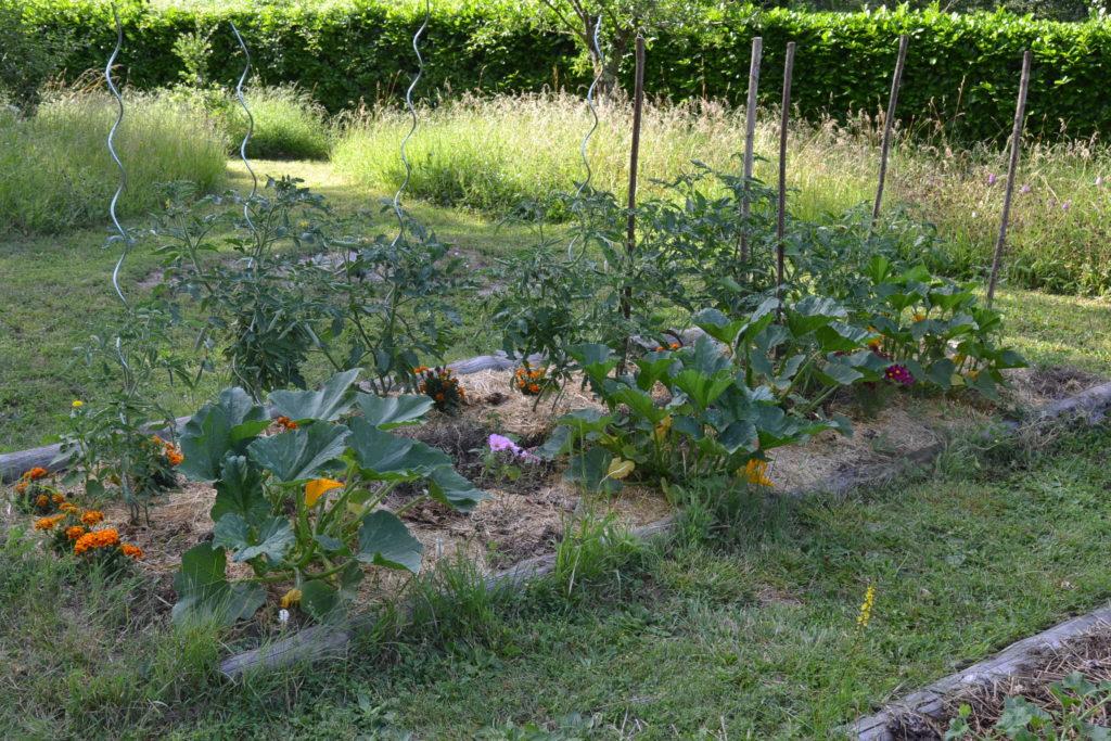 potager : rang de courgettes et de tomates au mois de juin