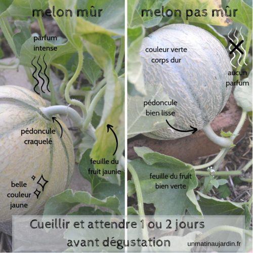 Savoir reconnaître un melon mûr à point