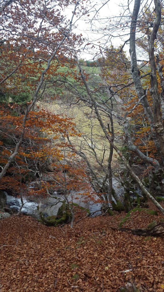 belle forêt de hêtre en randonnée l'automne