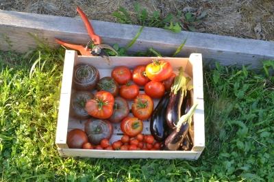 récoltes de tomates