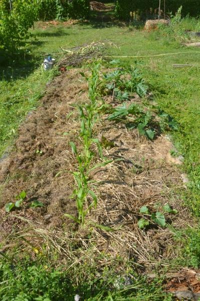 Optimiser son potager avec les cultures associées Milpa, haricot, maïs, courges.