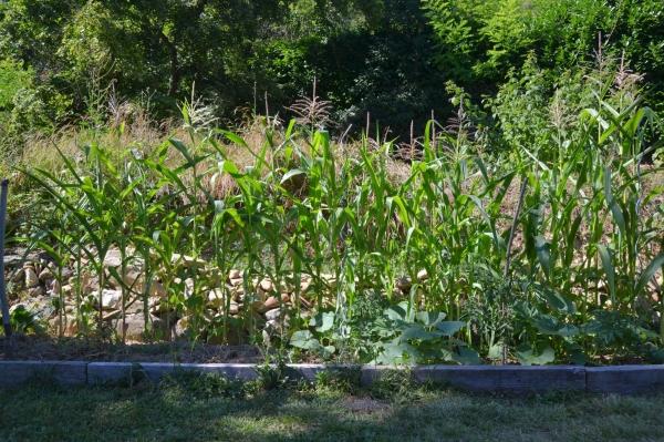 Optimiser son potager avec l'association milpa, courge, maïs, haricots grimpants