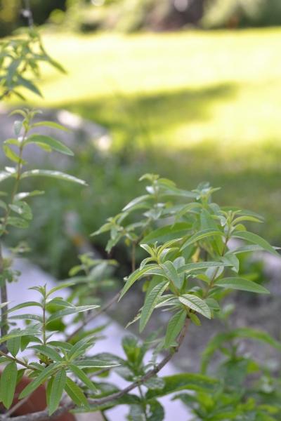 Envie de cultiver tes propres tisanes : découvres comment créer ton jardin de plantes médicinales