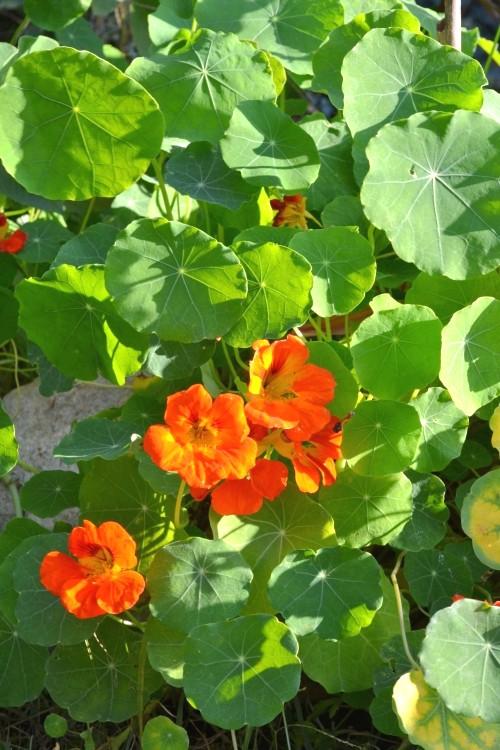La capucine : une plante très utile au potager bio. A associer avec les tomate ou les choux.
