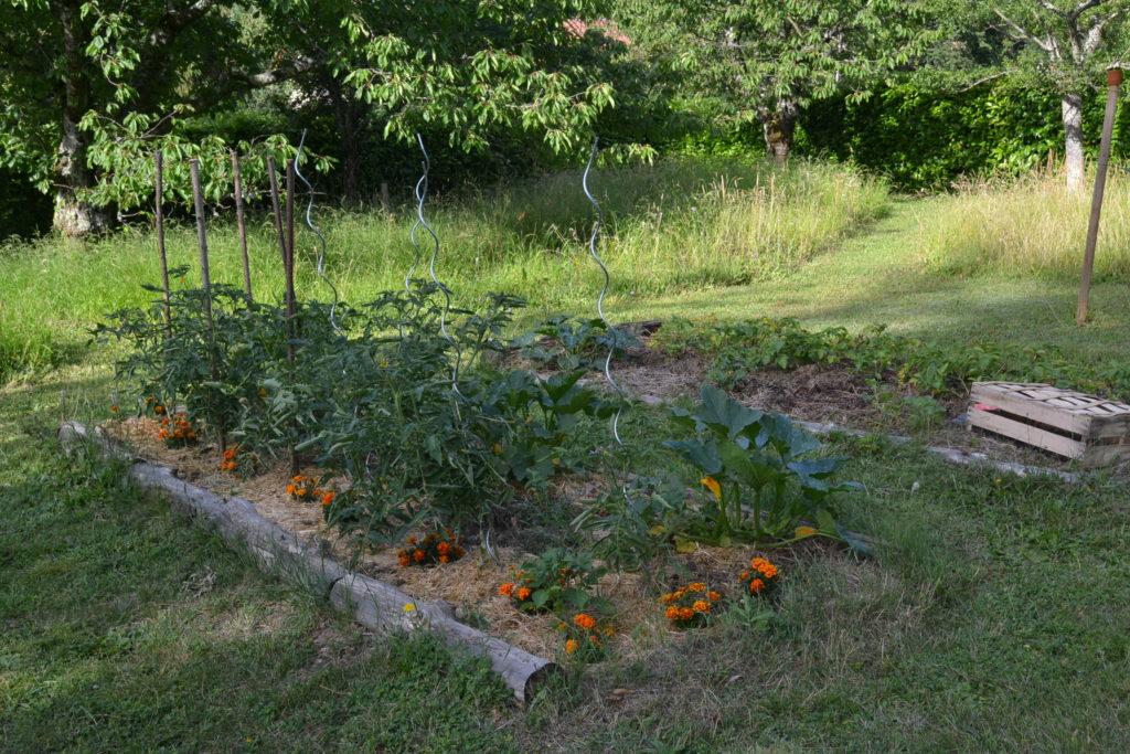 Potager avec fleurs compagnes : l'association des tagètes avec les tomates.