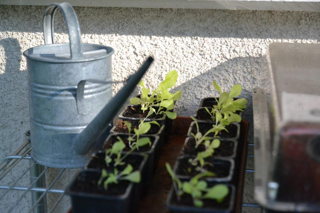 Arroser son jardin potager : les arrosoirs à long bec sont bien adaptés pour les plantules et les plantes en pot.