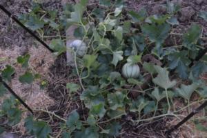 plant de melon, avec des fruits en train de murir