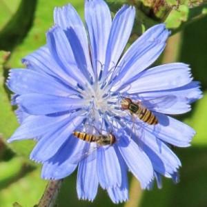 fleur de laitue et syrphes 001petite