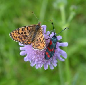 Papillons sur scabieuse