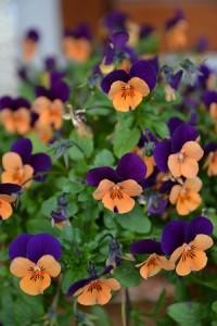 pensées orange et violettes 2