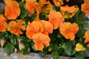 pensées orange sur balcon