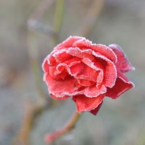 rose givre